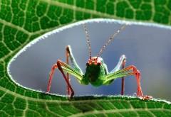 Зеленый кузнечик с красными ножками