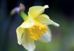 Нарцисс макро цветок желтый картинки для рабочего стола скачать
