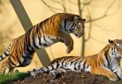 Ничего не подозревающий тигры момент картинки