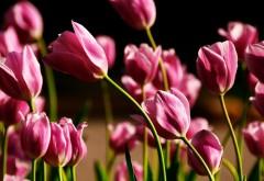 Розовые тюльпаны картинки для рабочего стола скачать