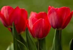 Красные тюльпаны крупным планом природа картинки