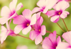 Фиолетовые вербены цветы картинки для рабочего стола �…