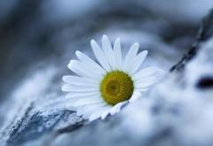 Маргаритка цветок ромашка картинки для рабочего стола скачать