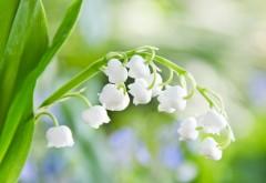 Обои Весенние цветы, ландыши для рабочего стола беспла…