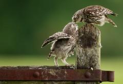 Маленькие совята птицы картинки для рабочего стола ск�…