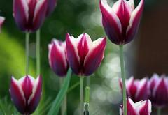 Весенние цветы тюльпаны картинки для рабочего стола с�…