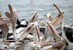 Птички пеликаны картинки для рабочего стола скачать