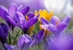 Фиолетовые крокусы шафран картинки для рабочего стола скачать