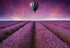 Поле из фиолетовых цветов и воздушный шар картинки