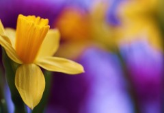 Нарцисс весной цветок макро картинки для рабочего сто�…