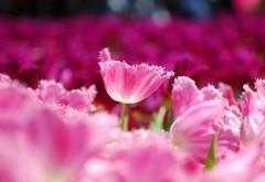 Розовые тюльпаны цветы плантация