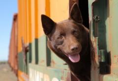 Рыжая собака картинки для рабочего стола скачать