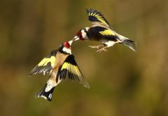 Щеглы птички картинки для рабочего стола скачать
