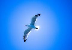 Птица чайка в небе картинки для рабочего стола скачать