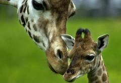 HD обои жирафов в высоком качестве