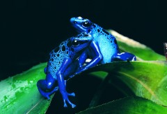 HD обои синих лягушек