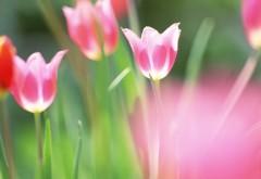 HD обои цветы тюльпаны