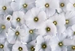 HD обои Белоснежные цветочки