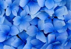 HD обои Нежности голубых цветов