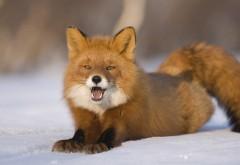 Снимок симпатичной рыжей лисички на снегу
