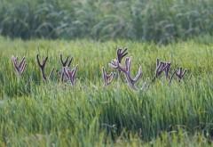 Рога оленей в траве широкоформатные HD обои скачать