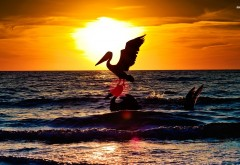 Пеликаны, птицы, море, закат, HD обои, скачать