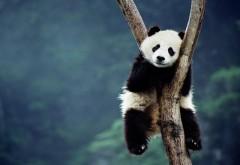 Панда широкоформатные HD обои скачать на рабочий стол