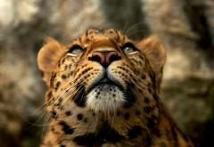 Ягуар, взгляд, HD обои, скачать