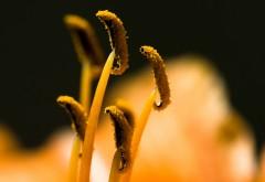 Макро фото тычинок покрытых ярко жёлтой пыльцой