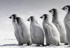 Императорские пингвины широкоформатные HD обои скачат�…