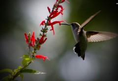 Калибри, птичка, цветок, HD обои, скачать, макро
