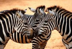 Фото милых зебр