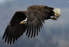 Орел в полете широкоформатные HD обои скачать на рабочи…