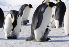 Пингвины и пингвинята широкоформатные HD обои скачать