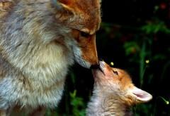Милое фото лисы и ее детеныша