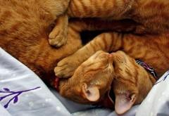 Фото двух рыжих мило обнявшихся кошек
