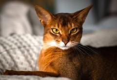 Фото абиссинская кошка