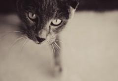 Кот черно белые HD обои скачать на рабочий стол