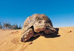 Фото черепахи ползущей по песку в пустыне