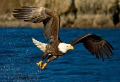 Белоголовый орлан в полете широкоформатные HD обои ска�…