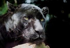 Пантера дикая кошка фоновые заставки скачать на рабочий стол