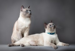 Тайские кошки фоновые заставки скачать на рабочий стол бесплатно