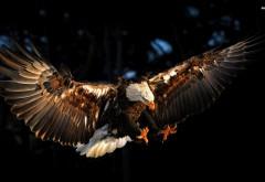 Белоголовый орлан заставки скачать