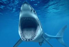 Красивая белая акула на охоте