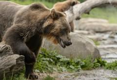 Медведь гризли фоновые заставки скачать на рабочий ст�…
