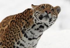 Ягуар, хищник, большая кошка, фоны, заставки