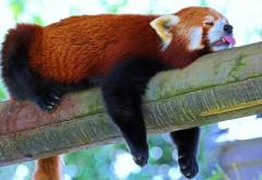 Красная панда, сон, фоны, заставки, скачать