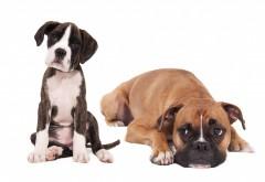Щенки, собаки, боксер, фотосессия, фоны, заставки