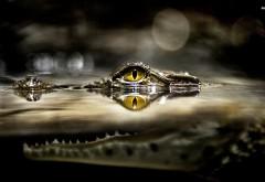 Крокодил в воде затаился фоновые заставки скачать