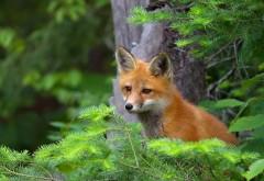Фото рыжей лисички и хвойного леса скачать